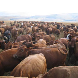 brown-cows