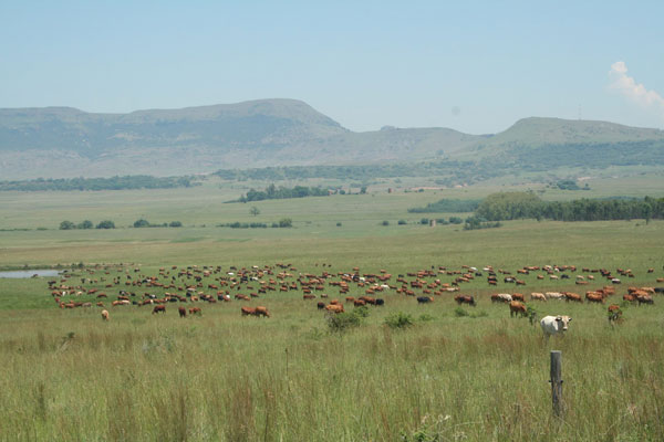 Mob Grazing in South Africa